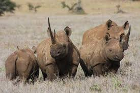 What Is A Group Of Rhinoceroses Called 119